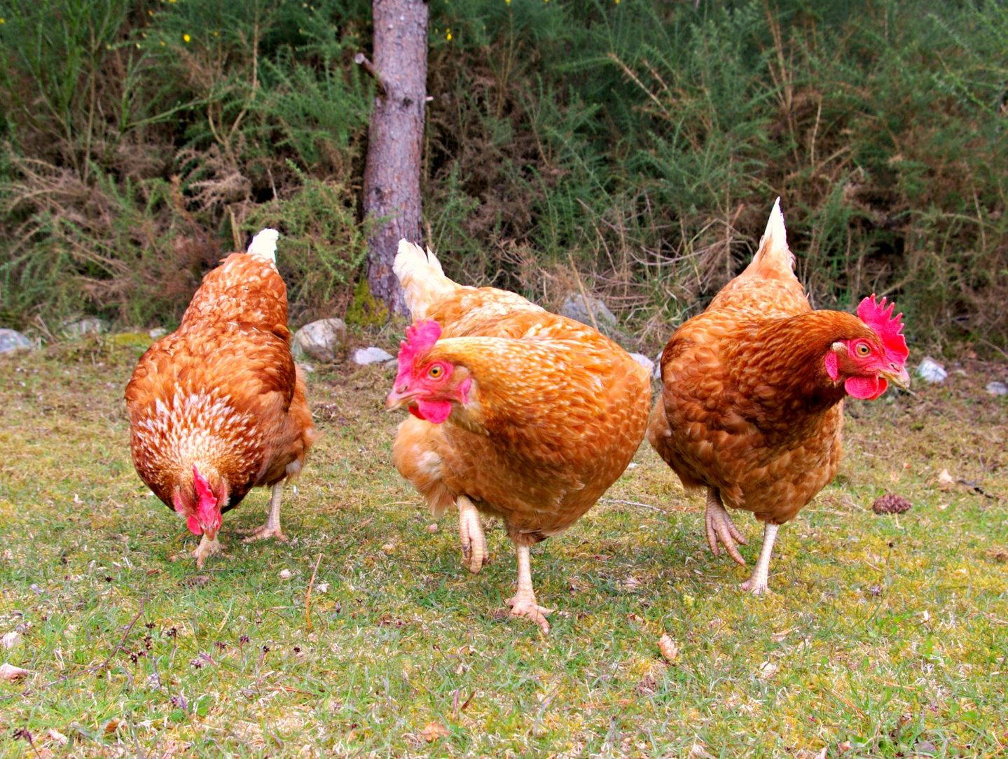 Ceol Mor's hens for freshly laid eggs